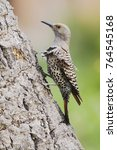 Northern Flicker Colaptes...