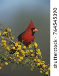 Small photo of Northern Cardinal, Cardinalis cardinalis,male on blooming Huisache (Acacia farnesiana), Lake Corpus Christi, Texas, USA, April