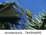 Small photo of Red-crowned Parrot, Amazona viridigenalis, adult on palm tree, Brownsville, Rio Grande Valley, Texas, USA, April