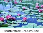 Pink Water Lilies  Nymphaeaceae ...