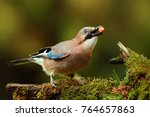 Garrulus glandarius, Eurasian jay close-up with nut on green branch  - stock photo