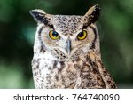 Great Horned Owl up Close - stock photo