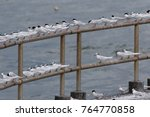 Small photo of Roseate Tern and Black-naped Terns perching in group on a railing at coastal side in Hong Kong