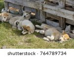 Small photo of Greenlandic sledge dog pups resting in shade, Ilulissat, West Greenland