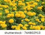 Marigold Growing In Pots.