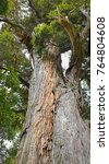 Small photo of Famous Mills Totara Tree at Peel Forest South Canterbury, New Zealand. Over a thousand years old.