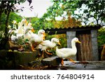 ducks in a row leading the pack ...   Shutterstock . vector #764804914
