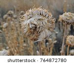 Small photo of Thistle Weed, Musk (Carduus nutans) or Scotch (Onopordum, acanthium) in the fall, withered and dry, dead, Close up, Macro view, in Yellow Fork and Rose Canyon, Utah by the Wasatch Mountains