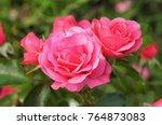 Buds Of Pink Tea Hybrid Rose...