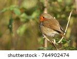 a pretty robin  erithacus... | Shutterstock . vector #764902474