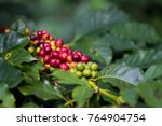 coffee beans ripening on coffee ... | Shutterstock . vector #764904754