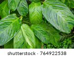 close up dumb cane leaves or... | Shutterstock . vector #764922538