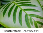 close up dumb cane leaves or... | Shutterstock . vector #764922544