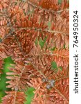 Small photo of Red Norway spruce tree detail of leaves