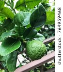 Small photo of Bergamot tree with green bergamot leaf or bergamot background.