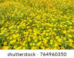 creeping daisy flower in the... | Shutterstock . vector #764960350