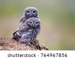 Stock photo two little owl athene noctua is on the stone on a beautiful background 764967856