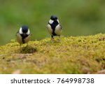 Small photo of Pretty bird - Japanese Tit, Eastern Tit or Oriental Tit - (Parus mionor)