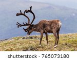 Bull Caribou On Alpine Tundra...
