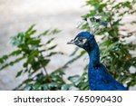 Portrait Of An Indian Peafowl...