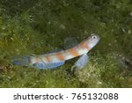 Small photo of Goby on Green Algae (Amblyeleotris)