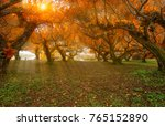 peach orchard in morning | Shutterstock . vector #765152890