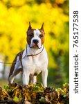 american staffordshire terrier...   Shutterstock . vector #765177538