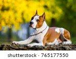 american staffordshire terrier...   Shutterstock . vector #765177550