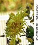 autumn yellow flower | Shutterstock . vector #765183400