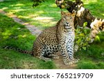 leopard hunting. leopard is... | Shutterstock . vector #765219709