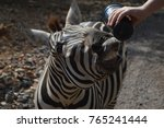 zebra being fed from cup | Shutterstock . vector #765241444