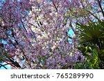 tree chorisia speciosa  ceiba... | Shutterstock . vector #765289990