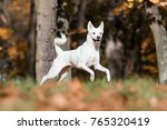 Stock photo canaan dog in park 765320419
