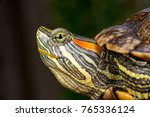 Small photo of The extreme and close up view of green female red-eared slider turtle tortoise (Chordata: Reptilia: Testudines: Cryptodira: Emydidae: Trachemys scripta elegans) lifts its head, stretches neck