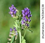 Small photo of Alfalfa, Medicago, sativa