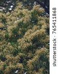 Small photo of American chestnut (Castanea dentata)