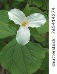 Small photo of White trillium (Trillium grandiflorum). Called Large-flowered trillium, Great white trillium and Wake-robin also