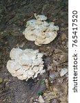 Giant Polypore  Meripilus...