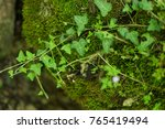 ivy on a background of green... | Shutterstock . vector #765419494