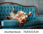 Stock photo the dog lies on the blue couch the pet is resting nova scotia duck tolling retriever toller 765431524