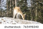 a lone deer in the woods   Shutterstock . vector #765498340