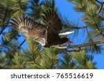 an american bald eagle flies... | Shutterstock . vector #765516619