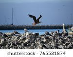 juvenile red footed booby a... | Shutterstock . vector #765531874