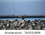 juvenile red footed booby a... | Shutterstock . vector #765531898