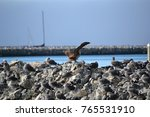 juvenile red footed booby a... | Shutterstock . vector #765531910