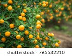 kumquat tree. together with... | Shutterstock . vector #765532210