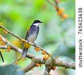 beautiful bulbul bird scaly...   Shutterstock . vector #765623638