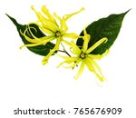 ylang ylang  cananga odorata...   Shutterstock . vector #765676909