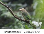 lineated barbet bird   Shutterstock . vector #765698470