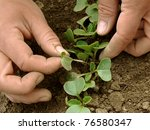 hands thinning of radishes... | Shutterstock . vector #76580347